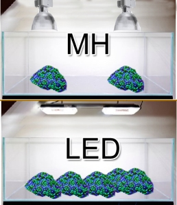 LED versus MH, spawning, experiment